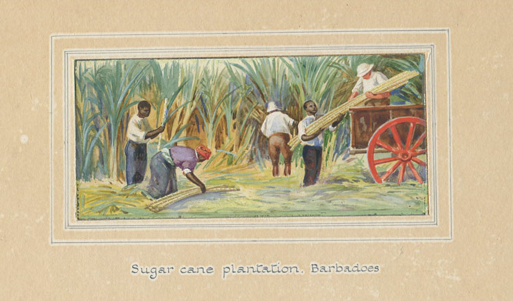 BARBADOS Sugar Cane plantation, Barbados
