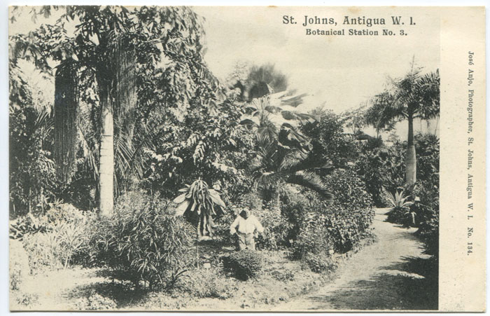 JOSE ANJO St John, Antigua W.I. Botanical Station. No. 3