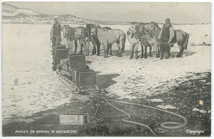 1907-1909 British Antarctic Expedition (Shackleton) Ponies on arrival in Antarctic.