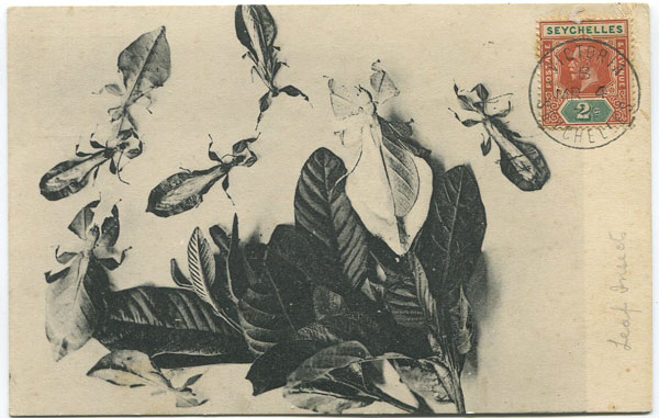 E.H.H. Leaf Insects.