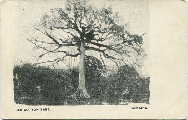 ANON Silk Cotton Tree, Jamaica.