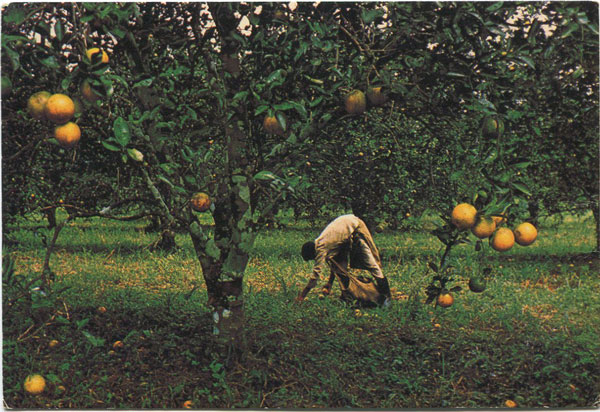CUBOLA POSTCARDS Orange harvesting in Stann Creek Valley - No 10