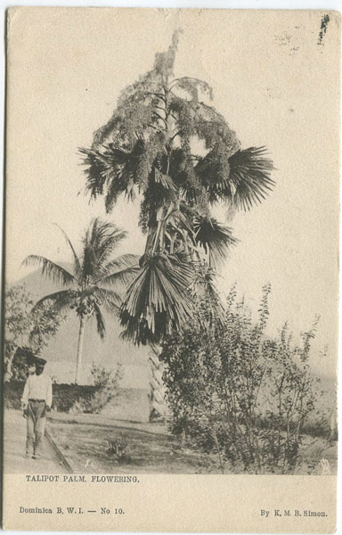 K.M.B. SIMON Talipot Palm, flowering - No 10