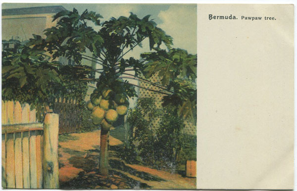 J.H. BRADLEY & CO Bermuda. Pawpaw Tree - No 111