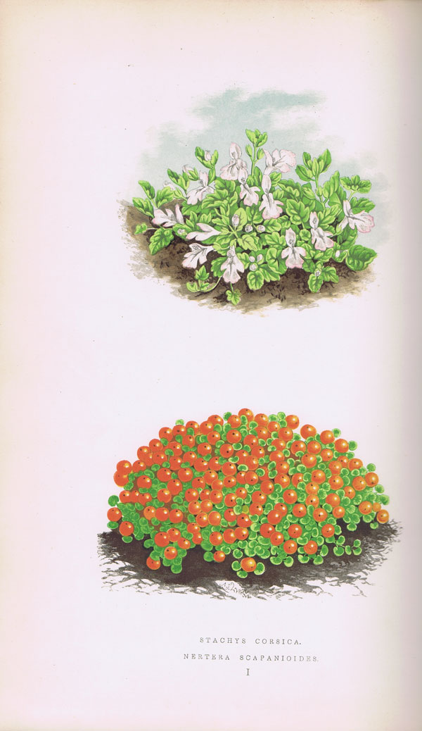 WOOSTER D. Alpine Plants: - figures and descriptions of some of the most striking and beautiful of the alpine flowers.
