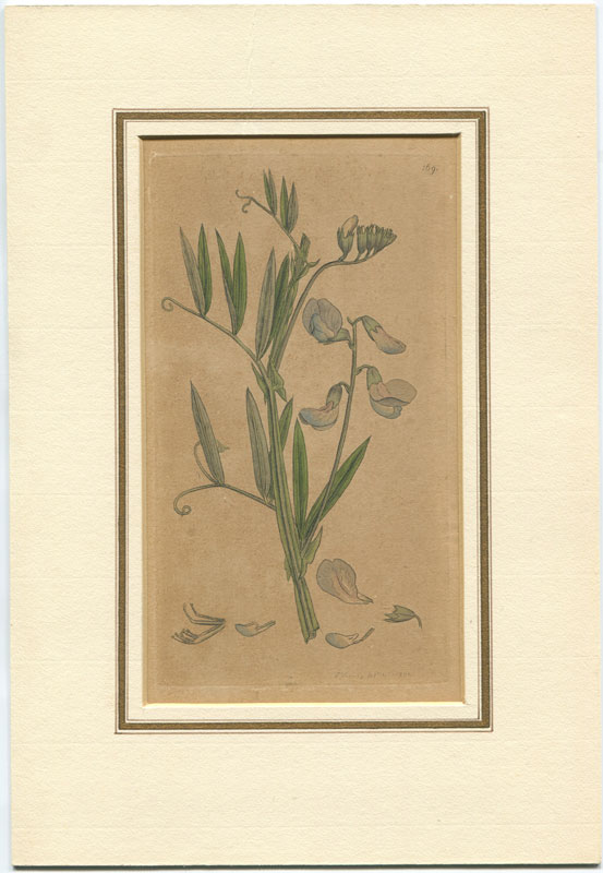 SOWERBY James Edward Coloured figures of British Plants. - Pl. 169. (Meadow Vetch)